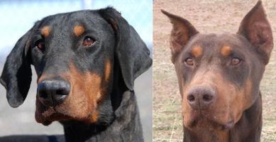 Doberman Pinscher Sos Welcome